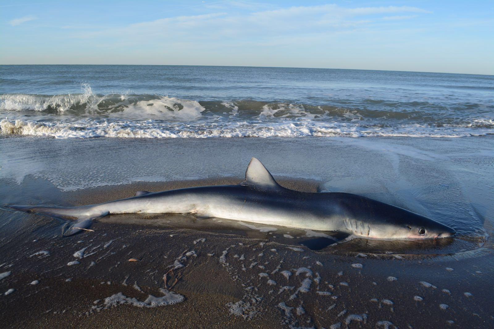 Ostia, squalo di due metri ritrovato in spiaggia